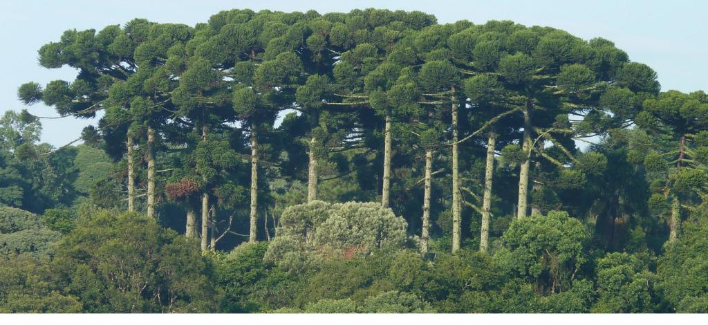 Floresta Ombrófila Mista mata com presença de Araucaria angustifolia