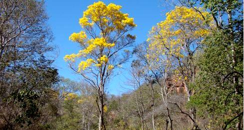 Floresta estacional semidecidual com presença de Handroanthus chrysotrichus.