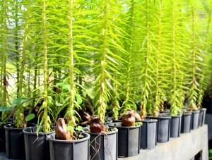 Mudas de araucária podem ser retiradas gratuitamente e em qualquer quantidade, mas plantio deve observar algumas recomendações